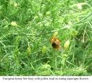 Honey bee on asparagus