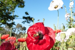 Honey bees on poppies by Joanne Diver