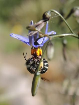 Lipotriches native bee