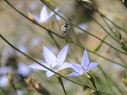 Native bee by Laurie