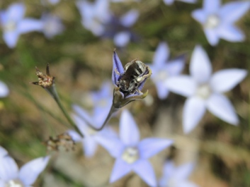 Native bee deep in flower by Laurie