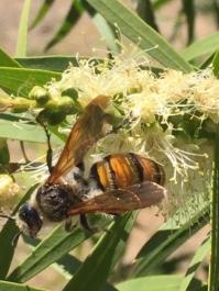 Orange hairy flower wasp (Laevicampsomeris formosa) by Samantha