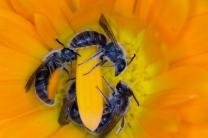 Sleeping native bees by Lauren Venugoban