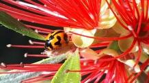 Transverse ladybird beetle by Karen Thomas