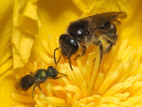 Two native bees