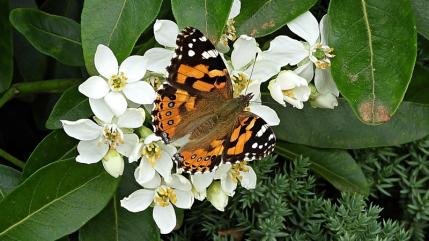 Australian Painted Lady butterfly (Vanessa kershawi) on Mexican Orange Blossom (Choisya ternata) by Kay Muddiman