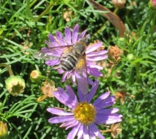 Bee fly by Chris Lake (Bayside Gardeners Group)