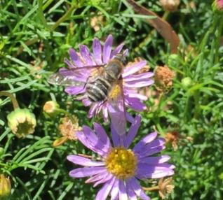 Bee fly by Chris Lake (Bayside Gardeners Group)