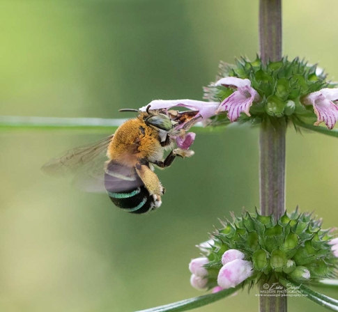 Blue banded bee by Erica Siegel