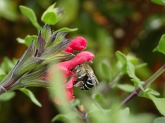 Blue banded bee by Janet Russell