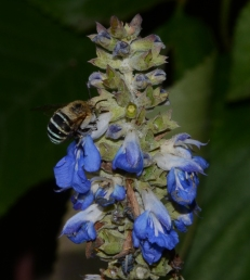 Blue banded bee by Julie C