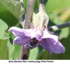 Blue banded bee on eggplant flower by James Cherry