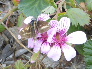 Butterfly (possibly a grass skipper or grass dart) by Andy Russell