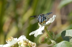 Chequered cuckoo bee by Deb P