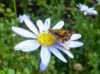 Dart butterfly with flower spider (butterfly flew away to safety) by Helen Ransom