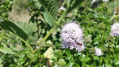 Exoneura native bee on basil mint by Kate Leslie