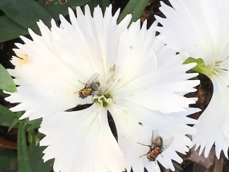 Flies on Dianthus by Mary Greenwood