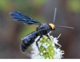 Flower wasp by James Cherry