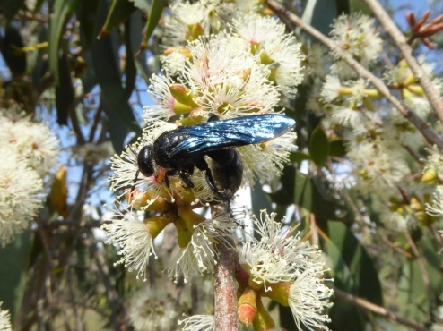 Flower wasp on Eucalyptus stellulata by Andy Russell