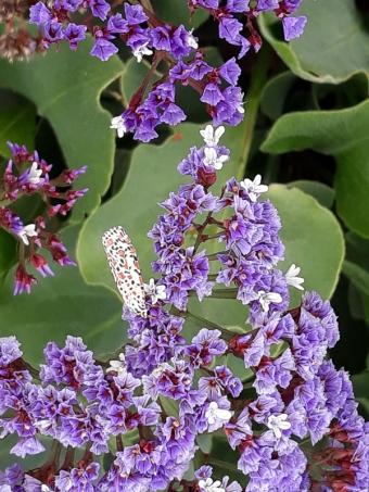 Heliotrope moth by Sylvia Worboys