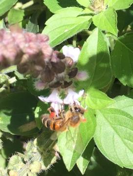 Honey bee by Bateau Bay Community Garden
