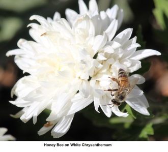 Honey bee by James Cherry