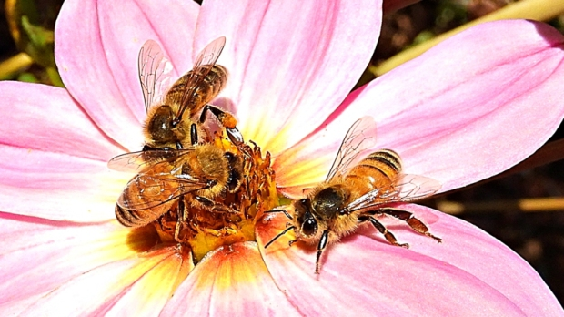 Honey bees on perennial Dahlia by Kay Muddiman