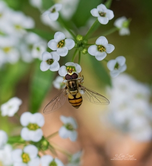 Hoverfly by Erica Siegel