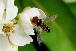 Hoverfly on Mexican Orange Blossom by Kay Muddiman