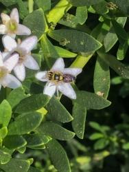 Hylaeus nativ bee by Samantha Ward