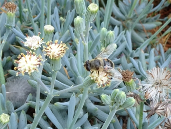 Janet Russell - Succulent asteraceae-Apis_