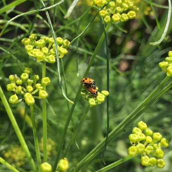 Ladybird beetles on fennel flowers by Monique