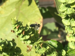 Leafcutter bee by Belinda Tominc