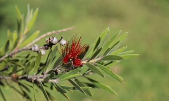 Masked native bees on bottlebrush by Sharon Lord