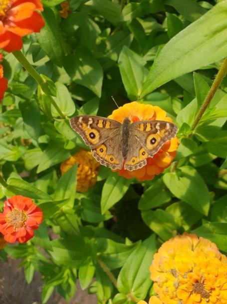 Meadow argus butterfly by Nadia Danti