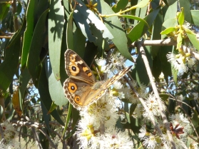 Meadow Argus butterfly (Junonia villida ) by Andy Russell