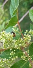Native reed bee by Lauren U