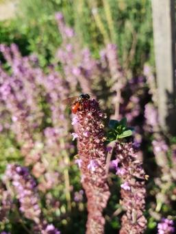 Reed bee (Exoneura) by Nadia Danti