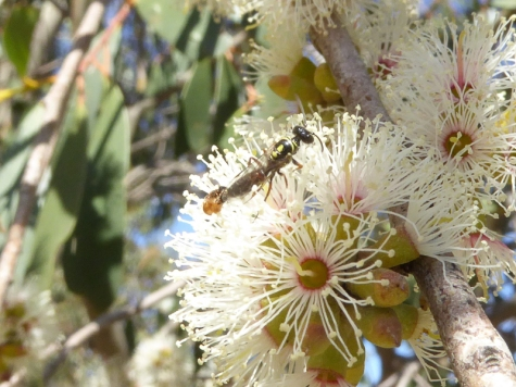 Small wasps on Eucalyptus stellulata by Andy Russell