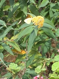 White butterfly on Buddleia by Stephanie Whyte