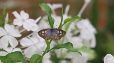Zebra or Plumbago blue butterfly by Elaine C
