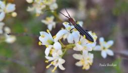 Beetle (Syllitus sp.) by Paula Sheehan, Murray Landcare Collective