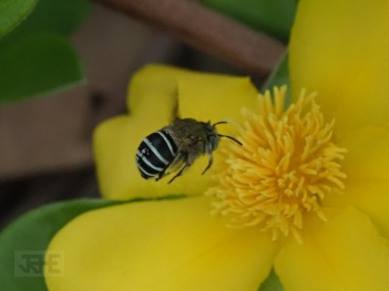 Blue banded bee by Rick Evans