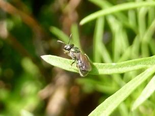Bubbling Homalictus bee by Barbara Mills