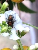 Calliphorid fly (1) by Julie McKinlay