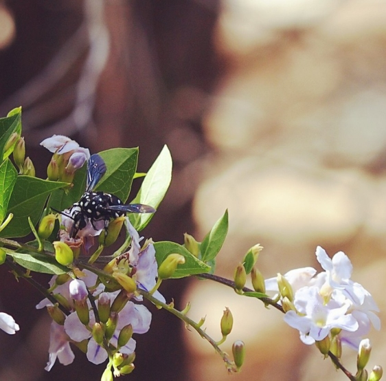 Cuckoo bee by Claire Miller