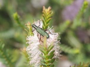 Eleale beetle by Laurie MacMillan