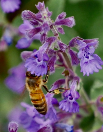 Honey bee by Richard Maddever