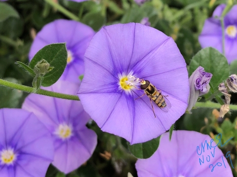 Hoverfly by Chris L
