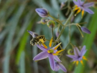 Lipotriches bee on Dianella flowers by Lizzy Lowe
